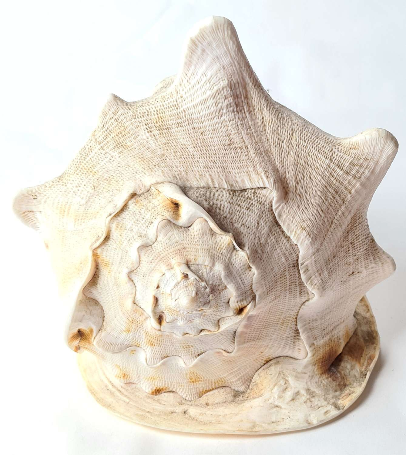 Large Queen Helmet Conch Sea Shell